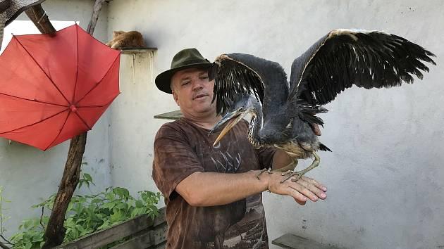 V záchranné stanici v Bílé Lhotě-Pateříně kurýrují mládě volavky popelavé, které si poranilo křídlo.
