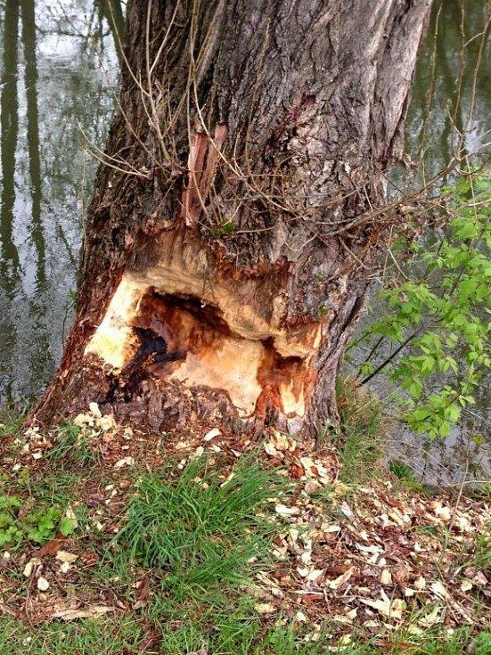 Bobrem ohlodané stromy u Mlýnského potoka v Hejčíně