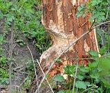 Bobří stopy u potoka Olešnice tekoucí z kokor do Majetína
