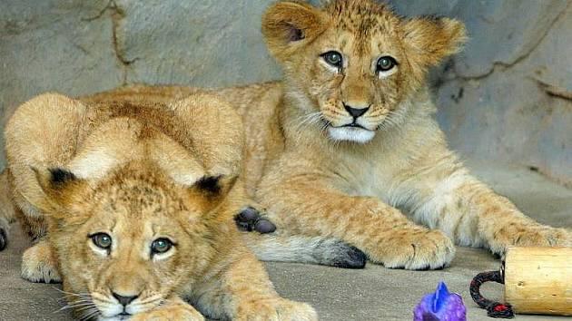 Lvíčata v olomoucké zoo