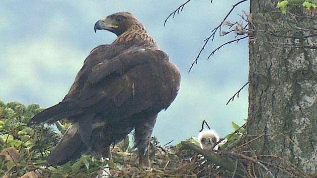 Orel skalní s vylíhlým mládětem na Libavé