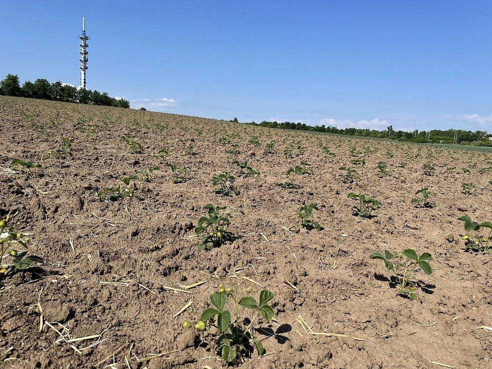 Jahodová plantáž v Olomouci-Slavoníně, na snímku sazenice pro sklizeň v příštím roce, 9. června 2021