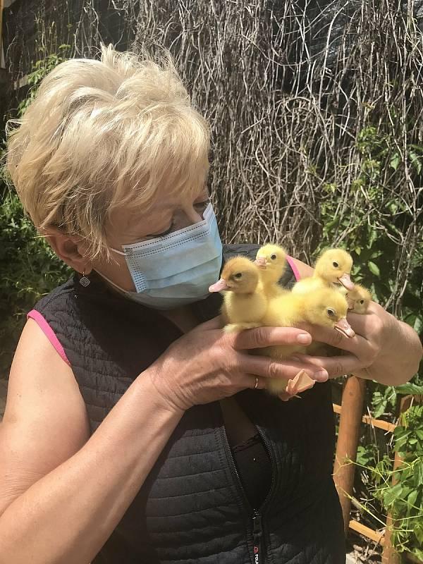 Zdenka Krutilová z Velkého Týnce prodává drůbež 30 let. Takový zájem jako letos v květnu nepamatuje. Mezi zákazníky eviduje nebývalý počet začátečníků, kterým dodává krmné směsi a radí s chovem.  (27.května 2020)