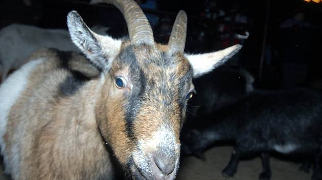 Koza kamerunská