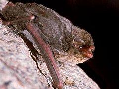 Létavec stěhovavý (Miniopterus schreibersii)