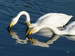 Samice labutě zpěvné s krčním límcem, kterou ornitologové nazývají princezna Zpěvanka, si našla partnera.