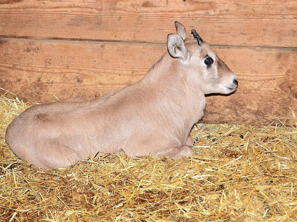 V olomoucké zoo se oryxům letos narodilo už šest mláďat.  Zoo patří k nejúspěšnějším chovatelům této antilopy v Evropě.