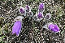 U Strejčkova lomu kvetou první koniklece. 8. března 2020