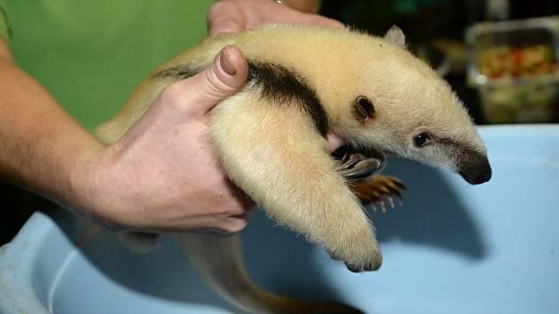 Zoo Olomouc se pyšní v pořadí 10. mládětem mravenečníka čtyřprstého.