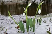 U Mlýnského potoka v olomouckých Bezručových sadech rozkvetly sněženky.
