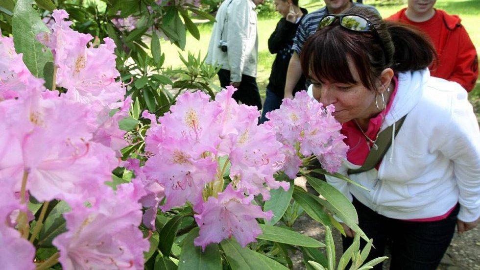 Kvetoucí rododendrony. Ilustrační foto