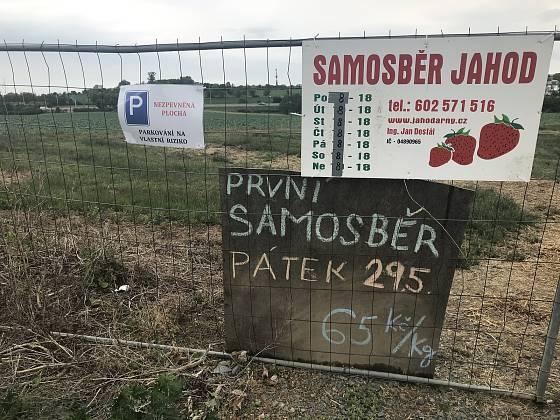 V Olomouci startuje samosběr jahod. (28.května 2020)