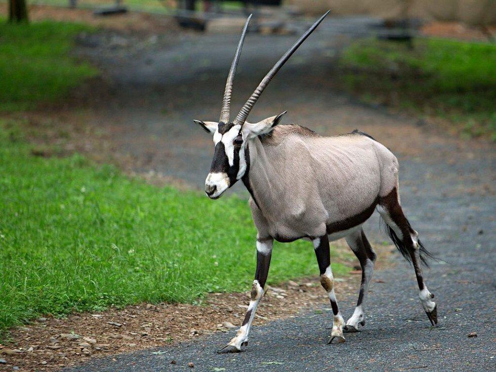 Upravený výběh pro oryxy v olomoucké zoo