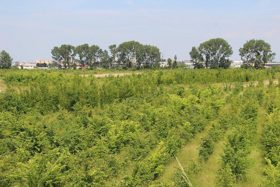 V lesoparku v Holici roste na 72 tisíc mladých stromů.