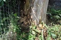 Existenci čapího hnízda v Domašově ohrožuje shnilý strom