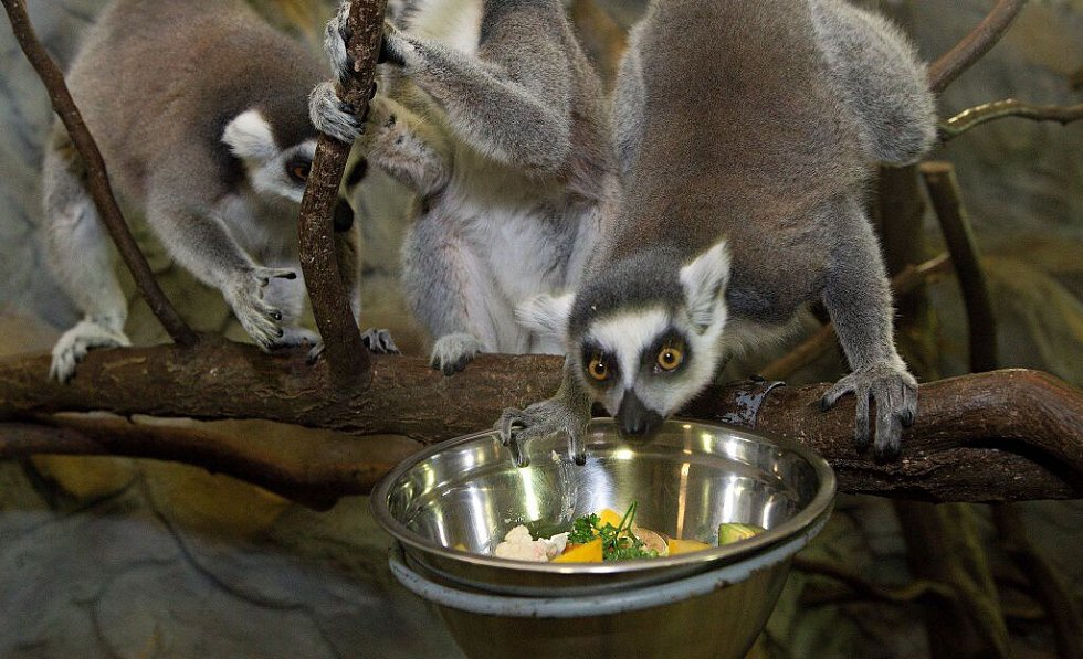 Krmení lemurů v olomoucké zoo
