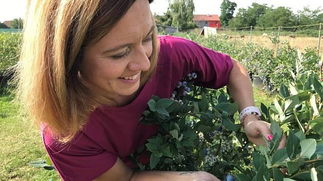 Za Humny se to modrá. Na rodinné farmě v Kostelci na Hané sklízejí Mlčochovi stovky kilogramů sladkých borůvek. Do budoucna plánují nabídnout lidem populární samosběr.