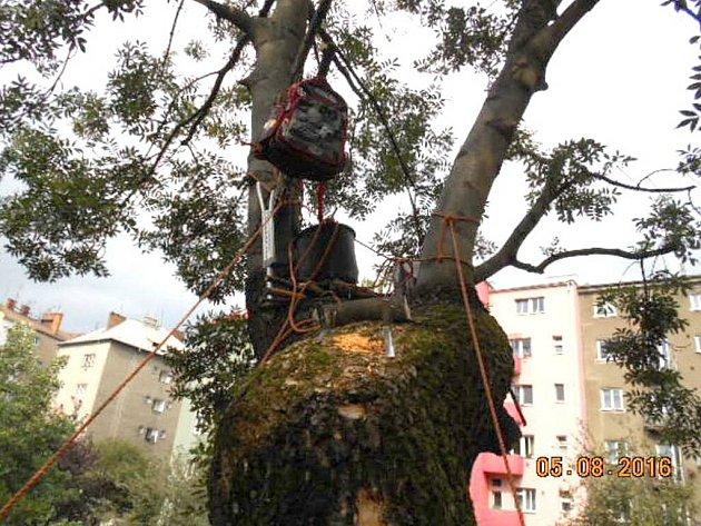 Památný strom nacházející se v ulici Zeyerova v Olomouci nenávratně poškodili tři chlapci v pátek ráno. Udělali si na něm bunkr.