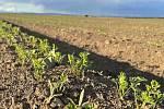 Zemědělec Ladislav Kašpar letos opět nabídne populární samosběr zeleniny. Na poli to vypadá slibně, 21. května 2021