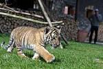 Tygří mládě Diego ve Fauna parku v Lipové-lázních