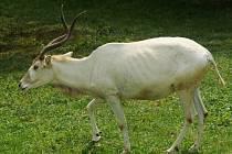 Nový samec rozšířil skupinu adaxů – pouštních antilop v olomoucké zoo na Svatém Kopečku, návštěvníci jej už mohou pozorovat ve výběhu.