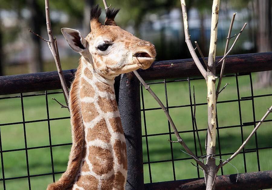 Žirafí sameček Salongo v olomoucké zoo