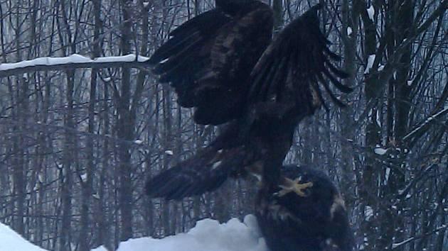 V Oderských vrších se ochranářům podařilo pomocí fotopasti zachytit páření páru jednoho z největších ptačích predátorů v České republice – orla skalního.