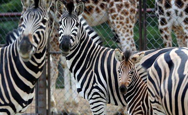 Din, mládě zeber Chapmanových volomoucké zoo