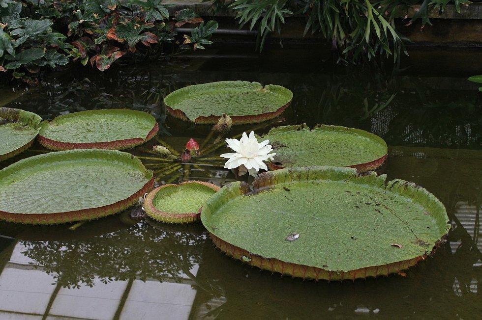 Kvetoucí leknín Viktorie Cruzova v tropickém skleníku na olomouckém výstavišti Flora