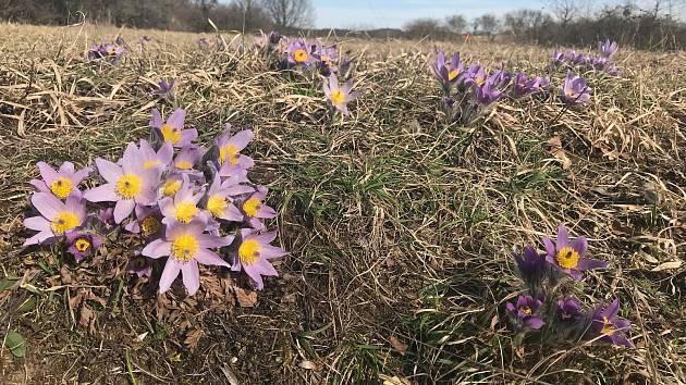 U Strejčkova lomu kvetou tisíce konikleců velkokvětých. Jde o jedinou lokalitu na Olomoucku, kde je možné spatřit tuto chráněnou rostlinu, navíc v nevídaném počtu. Láká obdivovatele z různých koutů České republiky.