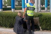 Olomoučtí strážníci u hlavního vlakového nádraží odchytávali ovce