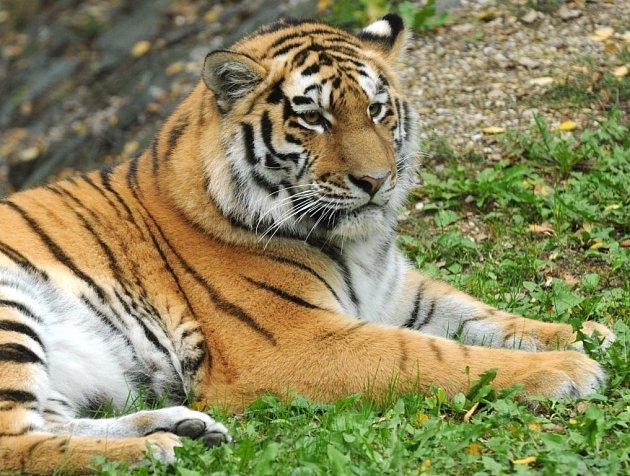 Tygřice Betty