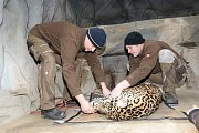 Zubní anabáze jaguáří samice v olomoucké zoo