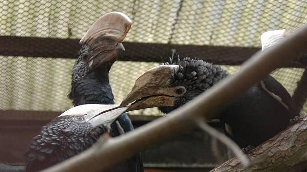 V zoo mají mláďata zoborožců šedolících