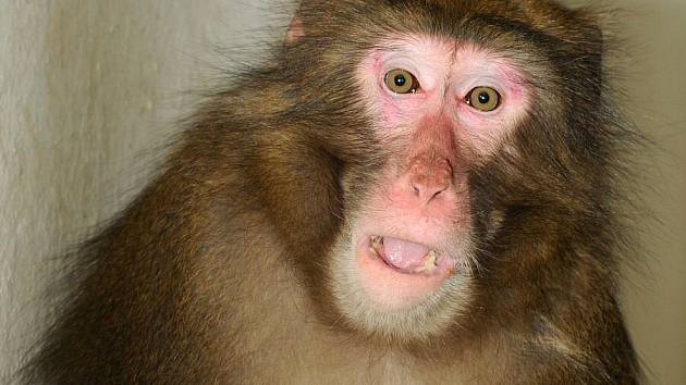 Opičí uprchlík Šimpy po návratu do olomoucké zoo
