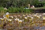 Kvetoucí lakušník okrouhlý na Poděbradech