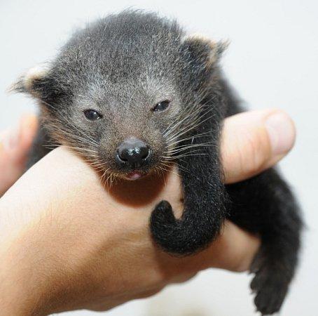 Amálka - nové mládě binturonga volomoucké zoo