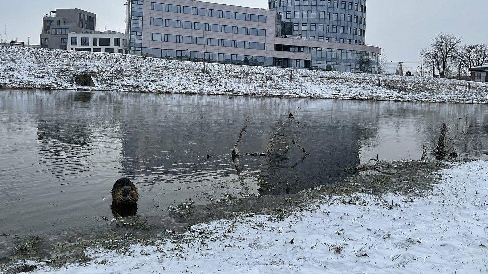 Nutrie říční. Řeka Morava v Olomouci u vysokoškolských kolejí, 9. února 2021