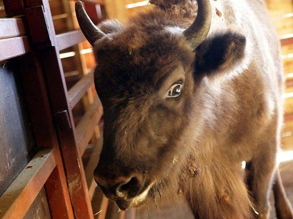 Samice zubra evropského Patria volomoucké zoo