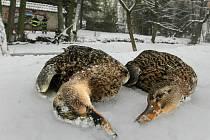 Na břehu Mlýnského potoka ležely zmrzlé kačeny