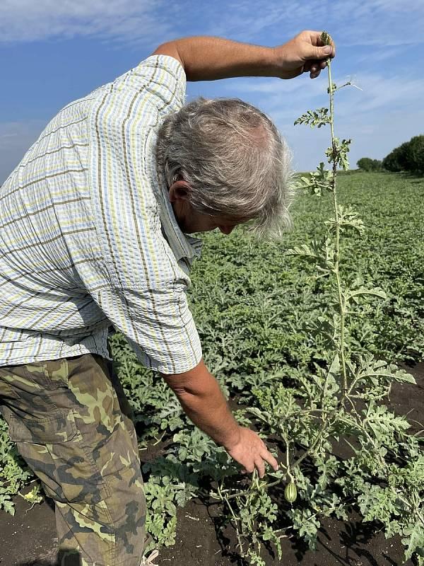 Melounová plantáž nedaleko Olomouce. Pěstitel Ladislav Kašpar chystá samosběr, 28. července 2021