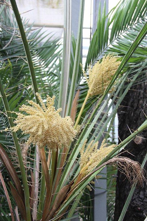 Sbírkové skleníky se v úterý otvírají pro veřejnost. Právě  kvetou datlové palmy.