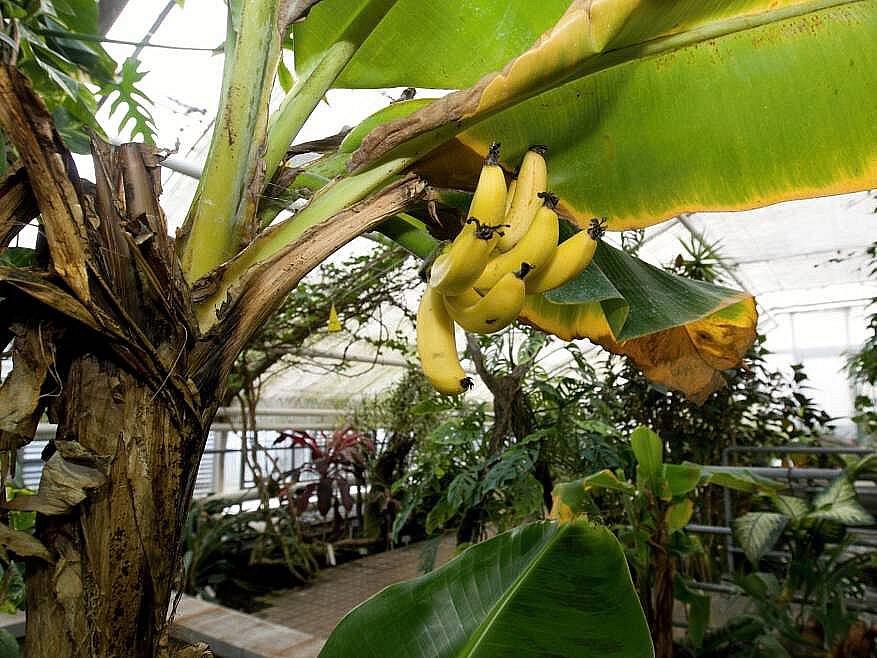 Banánovník ve Sbírkových sklenících
