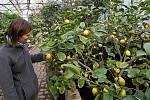 Citrony v olomouckých Sbírkových sklenících