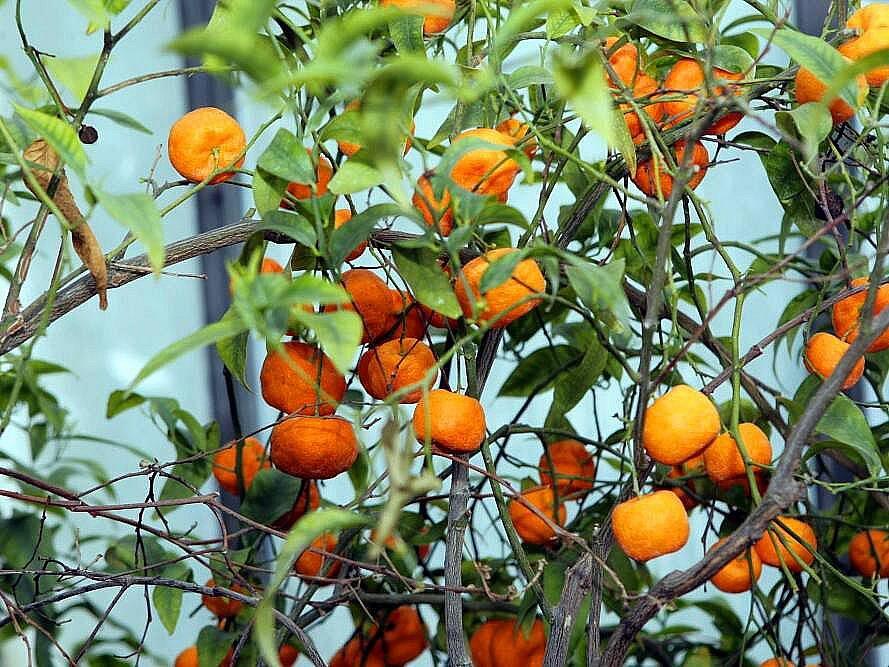Mandarinky ve Sbírkových sklenících