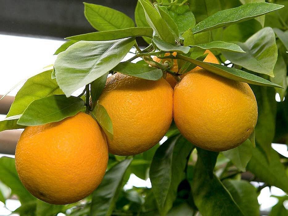 Pomeranče ve Sbírkových sklenících