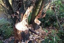 Kmeny stromů ohlodané od bobrů v Olomouci