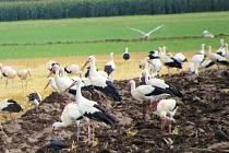Ornitologové v těchto dnech zaznamenali stovky čápů bílých, jak se zastavují na cestě do Afriky na polích s přemnoženými hraboši. Na Hané mají hody.