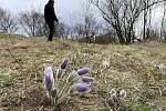 Ke Strejčkovu lomu míří lidé obdivovat koniklece, 3. dubna 2021