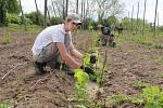 Jarní práce ve chmelnicích - zavádění rostlinek. Ilustrační foto